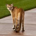 Three Mountain Lions Sighted on the Cochise Course