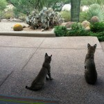 Bobcats in Desert Mountain